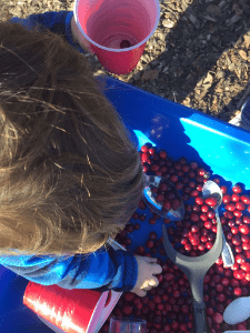 Cranberry sensory bin thanksgiving toddler activity